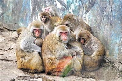 南京红山森林动物园内的猴子抱在一起取暖