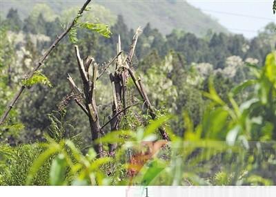 有刺的树木所有图片