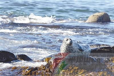 2月11日,大连长兴岛警方查获一起斑海豹盗猎案件,100只斑海豹幼崽